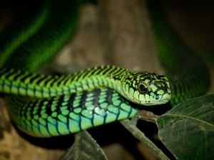A male boomslang, Dispholidus typus. William Warby/Wikimedia